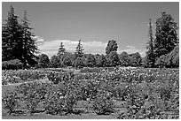 Roses and pine trees, Municipal Rose Garden. San Jose, California, USA (black and white)
