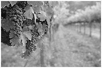 Grapes in vineyard, Gilroy. California, USA (black and white)