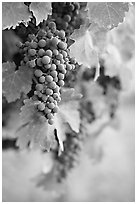 Grapes, Gilroy. California, USA (black and white)