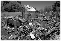 Roses and small shed, Sunset Gardens. Menlo Park,  California, USA (black and white)