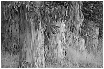 Trunks and leaves of Eucalyptus trees. Burlingame,  California, USA (black and white)