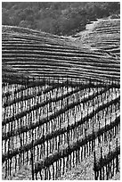 Hillside with rows of vines and yellow mustard flowers. Napa Valley, California, USA (black and white)