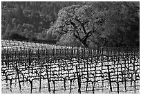Vineyard and oak tree in spring. Napa Valley, California, USA (black and white)