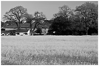Field of yellow mustard and winery. Sonoma Valley, California, USA (black and white)
