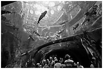 Tourists gaze upwards at flooded Amazon forest and huge catfish, California Academy of Sciences. San Francisco, California, USA ( black and white)