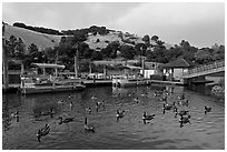 Ducks, marina, and hills Lake Chabot, Castro Valley. Oakland, California, USA ( black and white)
