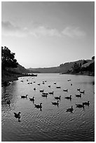 Lake Chabot with ducks at sunset, Castro Valley. Oakland, California, USA ( black and white)