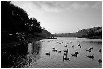 Large flock of ducks at sunset, Lake Chabot, Castro Valley. Oakland, California, USA ( black and white)