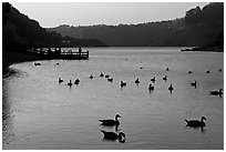 Ducks and pier at sunset, Lake Chabot, Castro Valley. Oakland, California, USA ( black and white)