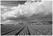 Field of vegetable and cloud. Watsonville, California, USA ( black and white)