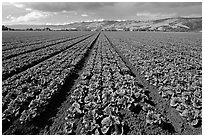 Long rows of lettuce. Watsonville, California, USA ( black and white)