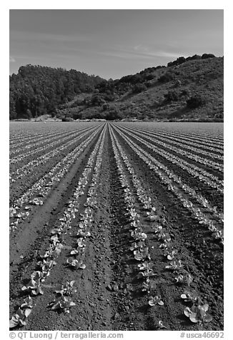 Vegetable farming. Watsonville, California, USA