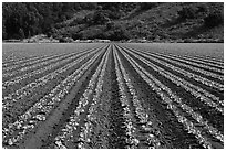 Vegetable crops. Watsonville, California, USA ( black and white)