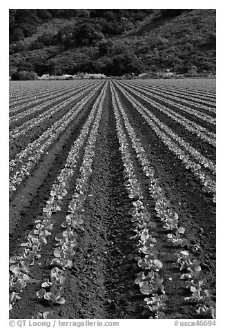 Lettuce intensive cultivation. Watsonville, California, USA (black and white)