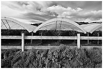 Protected raspberry crops. Watsonville, California, USA ( black and white)