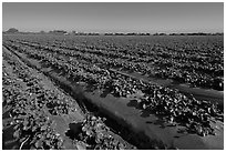 Cultivation of strawberries using plasticulture. Watsonville, California, USA ( black and white)