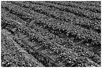 Rows of strawberries close-up. Watsonville, California, USA ( black and white)