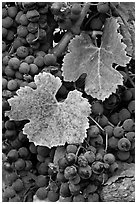 Close-up of grapes and red leaves in autumn. Napa Valley, California, USA (black and white)