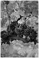Vine with wine grapes and red leaves in autumn. Napa Valley, California, USA (black and white)