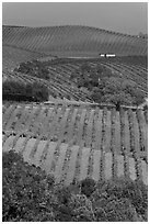 Carneros Valley Vineyard landscape in autumn. Napa Valley, California, USA (black and white)