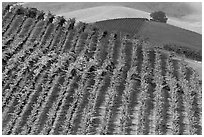 Colorful row of vines and hazy hills. Napa Valley, California, USA (black and white)