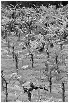 Wine grapes cultivated on steep terraces. Napa Valley, California, USA (black and white)