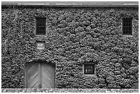 Facade covered with ivy in fall, Hess Collection winery. Napa Valley, California, USA (black and white)