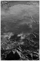 Kelp from above. Point Lobos State Preserve, California, USA (black and white)