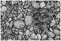 Wet pebbles and red algae. Point Lobos State Preserve, California, USA (black and white)