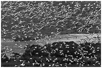 Flock of birds in flight. Carmel-by-the-Sea, California, USA ( black and white)