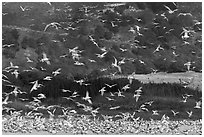 Seagull flock. Carmel-by-the-Sea, California, USA ( black and white)