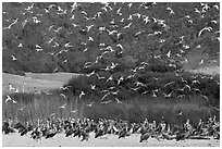 Seagulls flying and pelicans on beach. Carmel-by-the-Sea, California, USA ( black and white)
