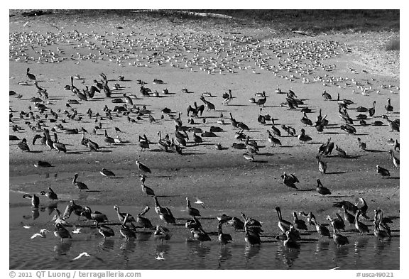 Pelicans and seagulls, Carmel River State Beach. Carmel-by-the-Sea, California, USA