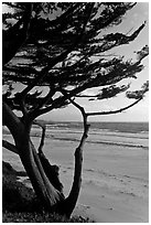 Cypress at the edge of Carmel Beach. Carmel-by-the-Sea, California, USA ( black and white)