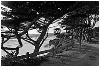 Path and Monterey Cypress bordering beach. Carmel-by-the-Sea, California, USA ( black and white)