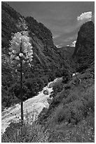 Yucca in bloom and Kings River in steep section of Kings Canyon, Giant Sequoia National Monument near Kings Canyon National Park. California, USA (black and white)