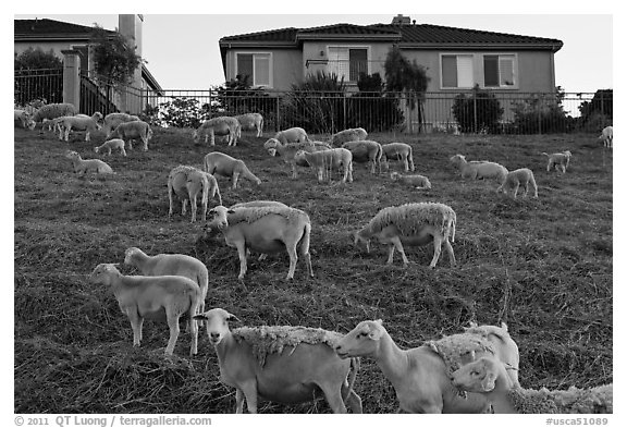 Sheep and suburban hones, Silver Creek. San Jose, California, USA (black and white)