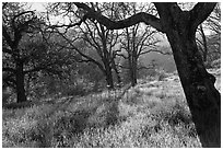 Trees in early spring, Almaden Quicksilver Park. San Jose, California, USA (black and white)