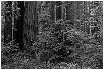 Lush redwood forest. Muir Woods National Monument, California, USA (black and white)