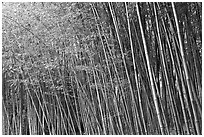 Bamboo forest. Saragota,  California, USA (black and white)