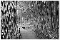 Path in bamboo forest. Saragota,  California, USA (black and white)