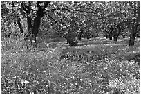 Fruit trees in bloom, Sunnyvale. California, USA ( black and white)