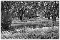Fruit orchard in spring, Sunnyvale. California, USA ( black and white)