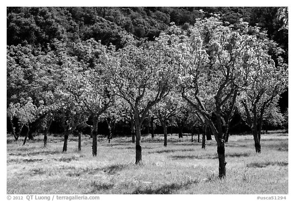 Orchard in spring, John Muir National Historic Site. Martinez, California, USA (black and white)