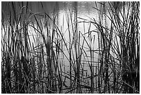 Reeds and pond, Garin Regional Park. California, USA (black and white)