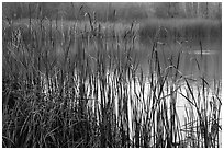 Reeds, Jordan Pond, Garin Regional Park. California, USA (black and white)