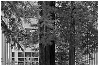 Redwood trees and campus buidling, University of California. Santa Cruz, California, USA ( black and white)