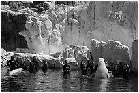 Visitors interact with beluga whales. SeaWorld San Diego, California, USA ( black and white)