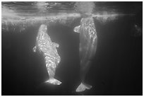 Pair of beluga whales underwater. SeaWorld San Diego, California, USA ( black and white)