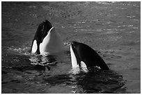 Killer Whale. SeaWorld San Diego, California, USA ( black and white)